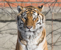 Tiger look Stock Image