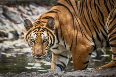 Close up tiger. That tiger look straight at me, it so scary Royalty Free Stock Photo