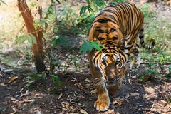 Close up tiger. That tiger look straight at me, it so scary Stock Photos