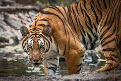 Close up tiger. That tiger look straight at me, it so scary Stock Images