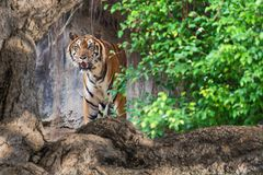 Close up tiger. Tiger look at what lies ahead Stock Photos