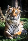 Tiger Looking At Camera. Portrait. Vertical. Stock Image