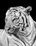 Tiger Looking Away From adulto la cámara Imagen de archivo
