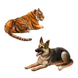 Tiger looking away, german shepard dog. Laying down isolated on white background Royalty Free Stock Photo