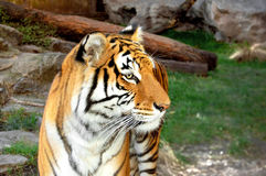 Tiger looking calm at the zoo. A tiger relaxing in his cage at the zoo. Wild scenario behind Stock Photos