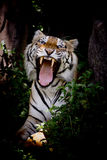 Tiger looking his prey and ready to catch it Royalty Free Stock Images