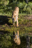 Tiger Looking at his Reflection Stock Image
