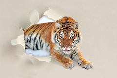 Tiger looking through a hole torn the paper stock images