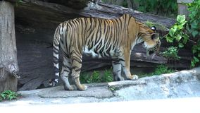 Tiger looking and jump in the zoo. Big tiger walking looking and jump in the zoo stock video footage
