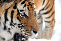 Tiger looking right on snow. Tiger face in winter. Danger look to right side Royalty Free Stock Photography