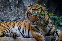 Tiger looking something. Royalty Free Stock Photo
