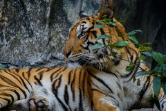 Tiger looking something. Royalty Free Stock Images