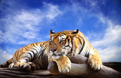 Tiger looking something on the rock. With beautiful sky Royalty Free Stock Image