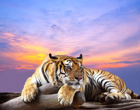 Tiger looking something royalty free stock photo