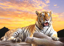 Tiger looking something on the rock. With beautiful sky at sunset time Royalty Free Stock Photos