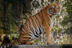 Tiger looking something. Stock Photos