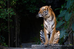 Tiger looking something. Tiger sitting and staring at something Stock Photography