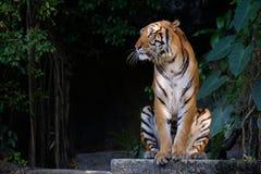Tiger looking something. Tiger sitting and staring at something Stock Image