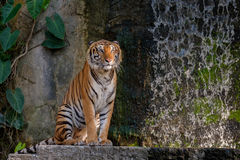 Tiger looking something. Royalty Free Stock Photo