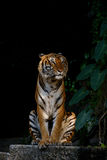 Tiger looking something. Royalty Free Stock Photography