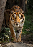 Tiger looking Royalty Free Stock Photo