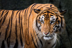 Tiger. Tiger looking something in the zoo Royalty Free Stock Photography