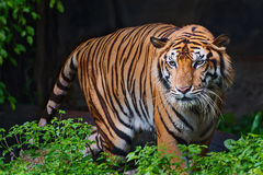 Tiger. Tiger looking something in the zoo Royalty Free Stock Photo
