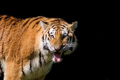 Tiger is looking for water. Isolated on black tiger is thirsty and looking for water Royalty Free Stock Photos