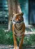 Tiger looking at you royalty free stock image