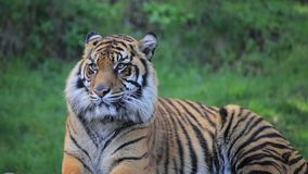 Tiger looks at camera. Tiger looks around and then at camera stock video footage