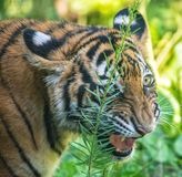 Tiger growling Royalty Free Stock Images