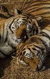 Tiger Love. A pair of snuggled tigers Royalty Free Stock Images