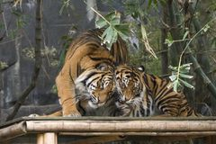 Tiger Love. These two Tigers were playing at Sydney Zoo Stock Images