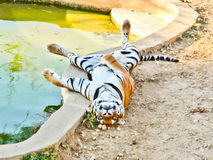 Tiger lying on the back. Tiger sweltering because of hot near a pool stock images