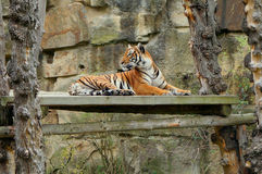 Tiger lying. Big orange stripe carnivous tiger laying on a wood with fauna around. Tiger laying Stock Photos