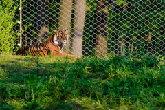 A tiger lying Royalty Free Stock Photo