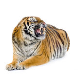 Tiger lying down. In front of a white background. All my pictures are taken in a photo studio Royalty Free Stock Image