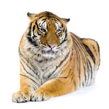 Tiger lying down. In front of a white background. All my pictures are taken in a photo studio Stock Images