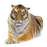 Tiger lying down. In front of a white background. All my pictures are taken in a photo studio Royalty Free Stock Photos