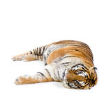 Tiger lying down Stock Image