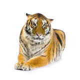 Tiger lying down. In front of a white background looking at the camera. All my pictures are taken in a photo studio Stock Photos