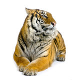 Tiger lying down. In front of a white background. All my pictures are taken in a photo studio Royalty Free Stock Images