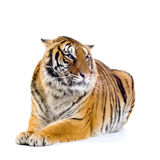 Tiger lying down. In front of a white background. All my pictures are taken in a photo studio Stock Image