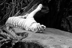 Tiger lying down black white Royalty Free Stock Photography