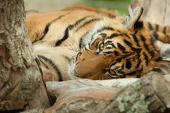A tiger lying down staring straight at the viewer. A tiger lying down among the branches of a tree staring straight at the viewer Stock Photography