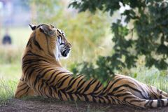 Tiger Lying Down during Daytime Stock Photography