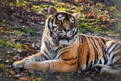 Tiger lying down in field. Resting after eating meal under trees Royalty Free Stock Photo