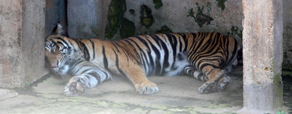 Tiger. Lying down in floor Stock Photography