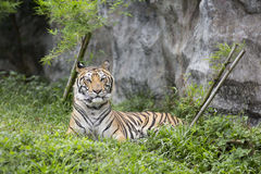 Tiger. Lying down on grass Stock Images