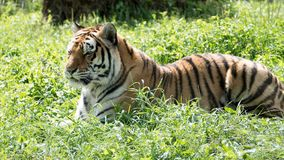 Tiger lying down Royalty Free Stock Photography
